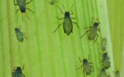 The Signs of an Aphid Infestation