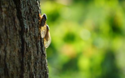 How To Protect Your Trees From Cicadas